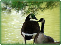 PRIVACY PLEASE!!! (VCH ) Tags: lake tree water beautiful pinetree geese newjersey nice pond great nj goose fabulous middlesex oldbridge challengewinner friendlychallenges achallengeforyou acfy