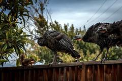 Confrontation (Abel AP) Tags: wildturkeys turkeys squirrel wildlife fence fremont warmsprings california usa northerncalifornia sanfranciscobayarea animals birds abelalcantarphotography