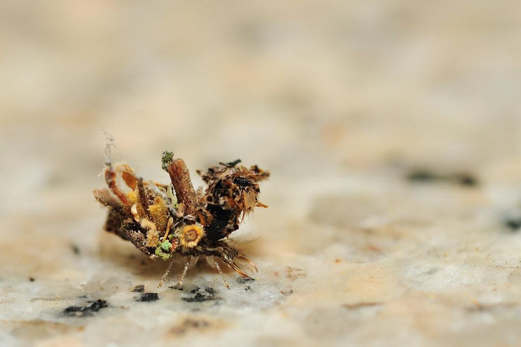 蚜獅-草蛉科幼蟲
