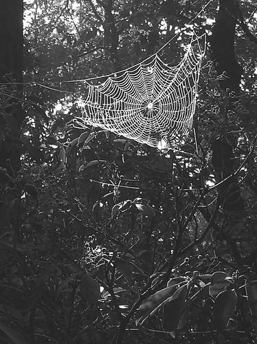 spider woods 1