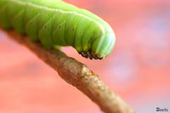 Lagarta verde (Boarin) Tags: macro natureza lagarta