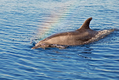 Rainbow Traveler (fotolen) Tags: dolphin dolphins specanimal animalkingdomelite oceanilovenature