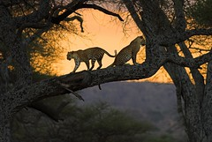 after sunset (AnyMotion) Tags: africa cats beautiful animals ilovenature tanzania tiere fantastic wildlife ngc 2006 npc leopard wildanimal afrika ems animalplanet tansania naturesfinest anymotion naturescall 100faves animalkingdomelite naturesgallery canonef300mmf4lisusm betterthangood theperfectphotographer goldwildlife nginationalgeographicbyitalianpeople goldstaraward thebestofgodscreation treeofhonor phvalue exceptionality