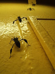 Crawling to the Light (sendroiu) Tags: africa light yellow insect bugs beetles crawling invasion scarry harmattan naturesfinest hemiptera heteroptera trashbit