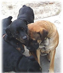 Lilboy & Milady (First Mastweiler Litter Parents) (muslovedogs) Tags: dogs puppy mastiff rottweiler mylady lilboy mastweiler