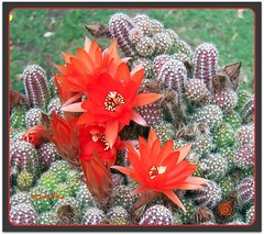 prickly (bodulka) Tags: flowers red cactus macro nature garden explore priroda prickly kaktus top20flowers cvijece anawesomeshot macrophotosnolimits flowerwatcher everywherewalks goldstaraward top20vivid