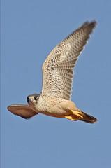 032054-IMG_4876 Grey Falcon (Falco hypoleucos) (ajmatthehiddenhouse) Tags: greyfalcon grayfalcon falcohypoleucos falco hypoleucos fbwnewbird fbwadded sa southaustralia bird 2007 tfowb australia