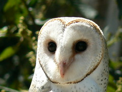 Beautiful Barn Owl In Close-Up (ianmichaelthomas) Tags: friends birds healesvillesanctuary birdwatching raptors owls dingo birdsofprey birdwatcher smorgasbord barnowls animaladdiction goldenmix avisittothezoo wildlifeofaustralia animalcraze worldofanimals auselite naturewatcher australianbirdsofprey wonderfulworldmix healesvillevictoriaaustralia australianraptors itsazoooutthere flickrlovers vosplusbellesphotos flickrsbestcreatures