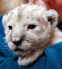 Baby white lions by floridapfe