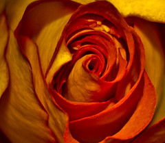 Yellow blush (Tylfe) Tags: flower macro rose yellow worldsbest impressedbeauty diamondclassphotographer flickrdiamond flowersmacroworld amazeandbeamazed