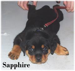 s1 (muslovedogs) Tags: dogs puppy rottweiler teaara zeusoffspring