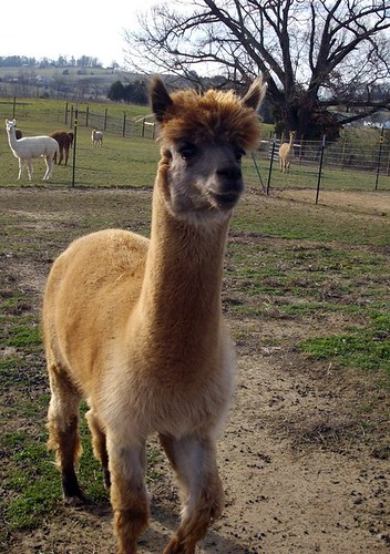 Arrow, the alpaca
