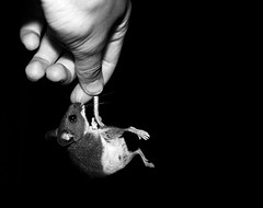The Capture (Little Lioness) Tags: blackandwhite cute mouse rodent hand captured story caught housemouse babymice blackandwhitemouse thecaptureandthekiss nextdisneymovie micearecute pictureofsomeoneholdingamouse cutemousephotos housemouseimages bestmousetrapintheworld picturesofmice tobystofu wildmousephotos reportsofmicewithrabies picturesofmicebiting