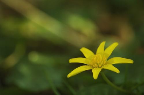 Ficaria verna subsp. verna | Gewoon speenkruid - Lesser celandine