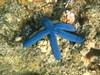 Morning snorkel - blue sea star