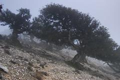 Alberi nella nebbia (supersky77) Tags: sardegna fog sardinia nebbia quercusilex supramonte leccio urzulei sunercone