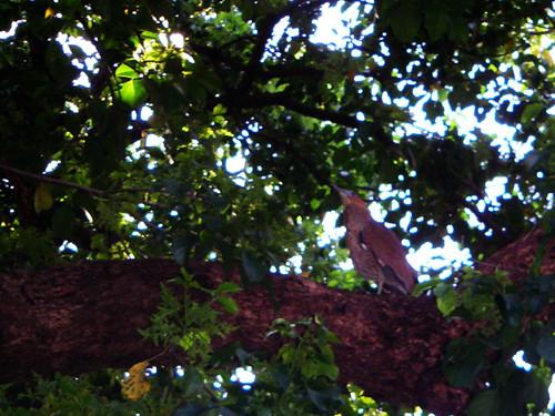 路上發現的黑冠麻鷺好大隻 http://www.flickr.com/photos/anchime/2364825113/