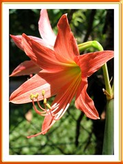 Salmon/Orange Hippies (Hippeastrum hybrid), shot March 21, 2008