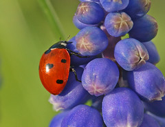 Ladybird red-green-blue (nutmeg66) Tags: flowers macro nature fauna garden march spring flora insects lincolnshire ladybird ladybug beetles 2008 ladybirds ladybeetle coleoptera naturesfinest minibeasts sigma105mm 400d colorphotoaward impressedbeauty bratanesque natureoutpost macromarvels