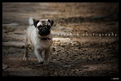 Wherever you go..... (ayashok photography) Tags: dog pet india nikon bangalore hutch cubbonpark d40 nikonstunninggallery nikond40 ayashok nikor55200mm