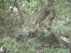 Bananaquit or Warbler Tortola