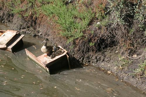 poor ducks