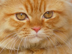 Shiri close-up (Abdalla Naas) Tags: orange cat shiri bestofcats