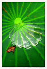 Crystal Shell Pond (Araleya) Tags: life lighting leica macro green nature water animal composition bug insect thailand living waterdrop colorful asia southeastasia lotus bangkok shell vivid panasonic tropical vein transparent clearwater lively fz50 watersurface littlepond lotusleaf shelllike araleya savinglife fulloflife leicadigital kasetsartuniversity theperfectphotographer crystalshell