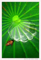 Crystal Shell Pond (Araleya) Tags: life lighting leica macro green nature water animal composition bug insect thailand living waterdrop colorful asia southeastasia lotus bangkok shell vivid panasonic tropical vein transparent clearwater lively fz50 watersurface littlepond lotusleaf shelllike araleya savinglife fulloflife leicadigital kasetsartuniversity theperfectphotographer crystalshell ใบบัว
