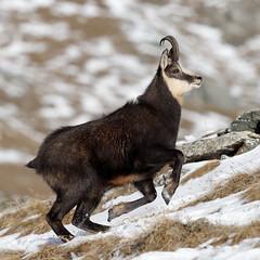 Camosci9 (Lunghefocali.snc) Tags: camoscio rupicaprarupicapra dolomiti valdifiemme trentino altamontagna biancoenero wildlife nature