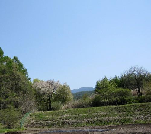 畑近くの山桜 by Poran111