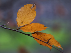 Leaves, Chingford (Ian@NZFlickr) Tags: park autumn fall leaves nz otago dunedin aotearoa stables nev chingford
