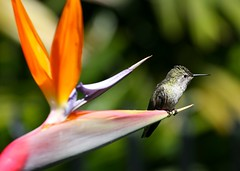 Bird of Paradise (Don Baird) Tags: flower bird hummingbird blossom beep birdofparadise bloom eyecandy naturesfinest flickrdiamond onlythebestare poposnose