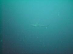 PICT0050 (JoseQ) Tags: blue mar hole great tiburones buceo caribe submarinismo tiburón