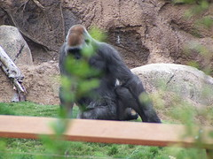 Gorilla Reserve