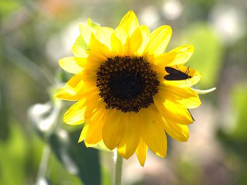 Yellow Sunflower and Bug