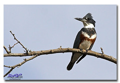 Female Belted Kingfisher (Herb Dunn (YosemiteJunkie)) Tags: bird canon20d bakersfield birdwatcher beltedkingfisher hartpark naturescall featheryfriday animalkingdomelite superbmasterpiece avianexcellence herbdunn canonef70200lusm dunnrightphotography kerncountyphotographers naturewatcher