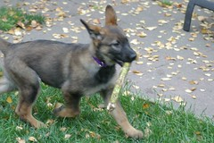 Bat With Stick (cwgoodroe) Tags: dog color cute fall home tongue closeup ball puppy oakland furry puppies shepherd teeth watching guard fluffy ears canine running run german floppy cuddle stick chew gnaw germanshepherd attention ran trot guarding k9 observant gsd cutepuppy alet sephard germanshepherdeyes