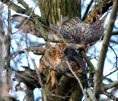 Great Horned Owl (flight, w/duck) (Hard-Rain) Tags: bird animal duck illinois flight aves prey predator naperville greathornedowl bubo strigiformes bubovirginianus strigidae explore22 springbrookprairie impressedbeauty