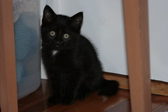 Cute (Ray Schamp) Tags: baby black cute cat french kitten chat noir kitty kittie mignon chaton littlebaby schamp
