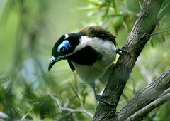 Blue-faced Honeyeater (fotofantasea) Tags: bird photographer wildlife australia wallart photograph bluefacedhoneyeater entomyzoncyanotis naturesfinest abigfave impressedbeauty irresitiblebeauty avianexcellence hollykempe