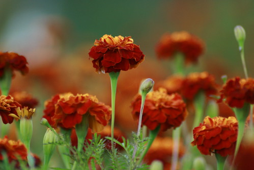 Can a Marigold Be a House Plant?