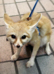 Fennec Fox by tanakawho