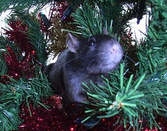 amaya (rattyfied) Tags: christmas ratties fancyrats