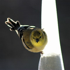 (mightyquinninwky) Tags: friends sunlight bird rural geotagged backyard birdseed 10 5 kentucky thistle goldfinch farmland explore finch ave 100 feed onwhite shiningstar smalltown onblack westernkentucky 15faves naturesart ibelieveicanfly unioncountykentucky ohiorivervalley 5faves 10faves twtme viewonblack nomore1word flickrhearts morganfieldkentucky avianexcellence excellenceinavianphotography top20yellow zerofaves globalvillage2 eiap lunarvillage freenature thenaturegroup heartawards diamondstars geo:lon=87905452 geo:lat=37693236 seedsock kentuckybirds thebluegrassstate viewonwhite highqualityimage exploreformyspacestation