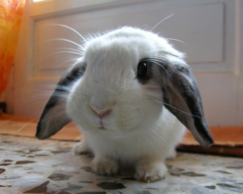 Incredibly Cute Bunny