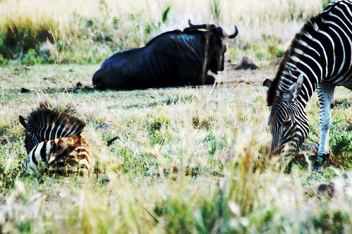 zebra-buffalo-1