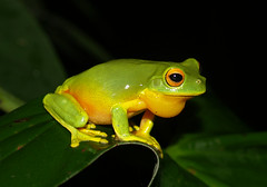 Three frogs in a row (rainforest_harley) Tags: tree wet rain forest rainforest wildlife au australia olympus frog queensland tropical tropic cairns aussie tropics kuranda naturesfinest supershot impressedbeauty 14~45mm theperfectphotographer
