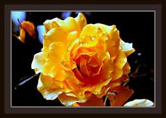 germany.rhine.bonn.mehlem  sad.yellow.rose.(099.04) - by Juergen Kurlvink