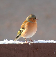 I want to be a robin! #1 (foxypar4) Tags: winter snow male bird robin fence garden scotland sutherland dornoch chaffinch blueribbonwinner golddragon abigfave impressedbeauty diamondclassphotographer flickrdiamond goldstaraward